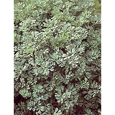Herb - Rue Seeds : Garden & Outdoor