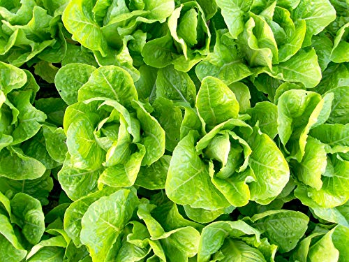 Jericho Romaine Lettuce Seeds, 1000+ Premium Organic Heirloom Seeds, (Isla's Garden Seeds), Non GMO, 85% Germination, Highest Quality!