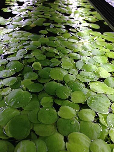 Amazon Frogbits Limnobium Laevigatum Live Aquarium Aquatic Floating Plant