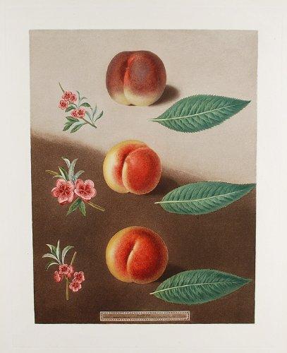 Peaches Framed Canvas - Peaches
