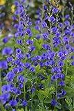 50 BLUE WILD INDIGO (False Indigo) Baptisia Australis Flower Seeds
