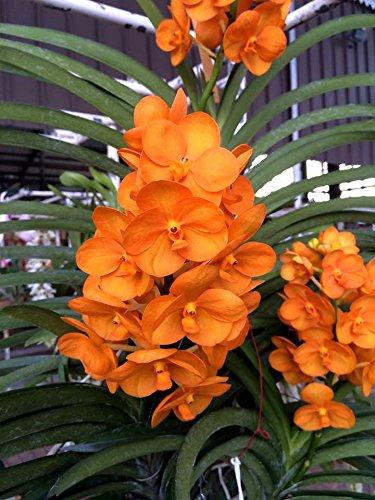 Vanda Nopporn Orange 'Rozy', Orchid Plant