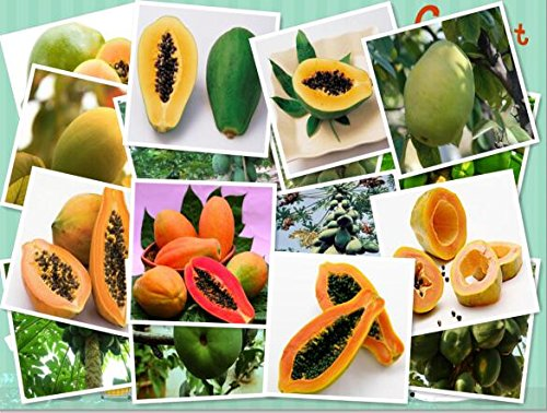 (Red : Garden .Aging Papaya Fruit Seeds, Flowering Quince 10Particles / Pack for Christmas)
