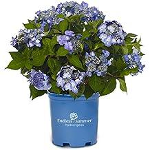 Twist-N-Shout Endless Summer Hydrangea, blue flowering plant in 2 Gallon pot -  Hydrangea macrophylla 'Twist-N-Shout'