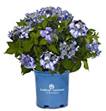 Endless Summer Collection - Hydrangea mac. Endless Summer Twist-N-Shout (Reblooming Hydrangea) Shrub, RB Pink or Blue, 2 - Size Container
