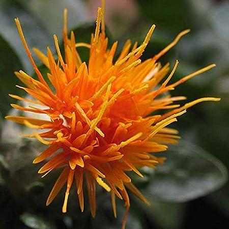 Amazon Com 300 Safflower Saffron Carthamus Tinctorius Yellow Orange Flower Vrz Seedsflat Shipping Garden Outdoor