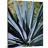 "Premium Thick-Wrap Canvas Wall Art Print Entitled Close-up of a Blue Agave (Agave Tequilana) Plant, Mexico 20""x24"""