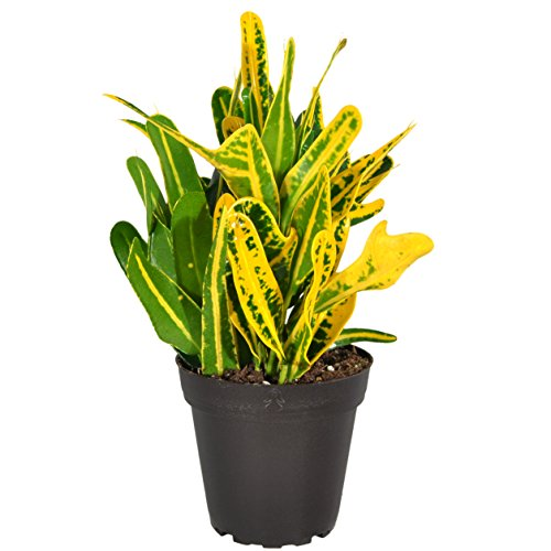 Costa Farms Exotic Angel Croton Live Indoor Plant, Grower's Choice Assortment, 4-Pack by Costa Farms (Image #9)