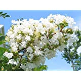 """Natchez Crape Myrtle 'Lagerstroemia indica x fauriei' - 12"""" Tall Healthy Potted Plants - 3 pack"""