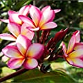 "Pink Plumeria Rooted PLANT - not cuttings! Fragrant Pink Rainbow - 12-14"" plant blooms this summer! Ships from USA from Easy to Grow Bulbs"