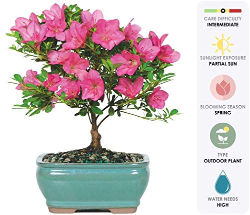 Outdoor Bonsai Tree - Brussel's Live Satsuki Azalea Outdoor Bonsai Tree - 5 Years Old; 6