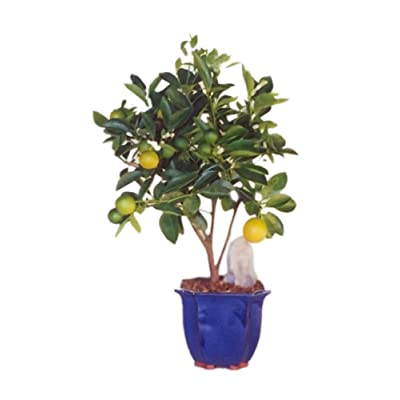 Bonsaiboy Orange Citrus Bonsai Tree Calamondin Orange : Grocery & Gourmet Food