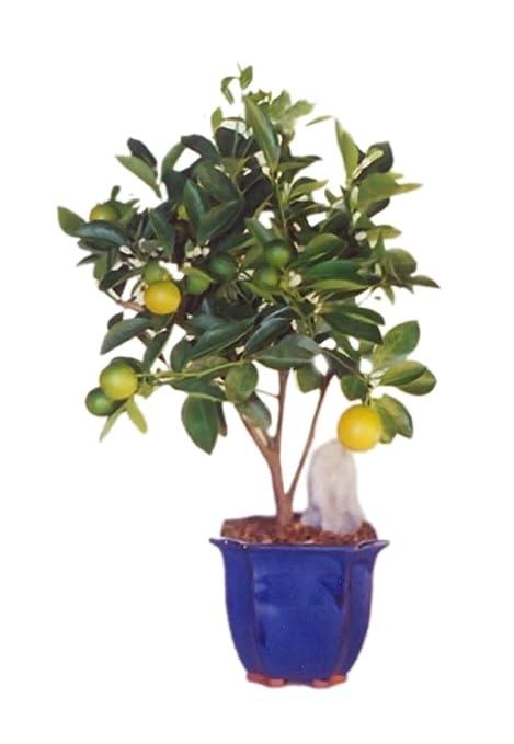 Bonsaiboy Orange Citrus Bonsai Tree Calamondin Orange Grocery Gourmet Food Amazon Com