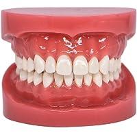 Dental Typodont Standard Teeth Model for Teaching Practice Demonstration Flossing Model for Adult Flesh Pink(1 Piece)