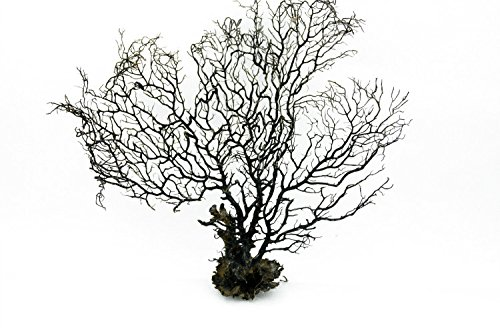 LTWHOME 14 Inch Jumbo Black Sea Fan Fish Tank Aquarium Decoration, Sea Coral Ornament TR-03 (Pack of 1)