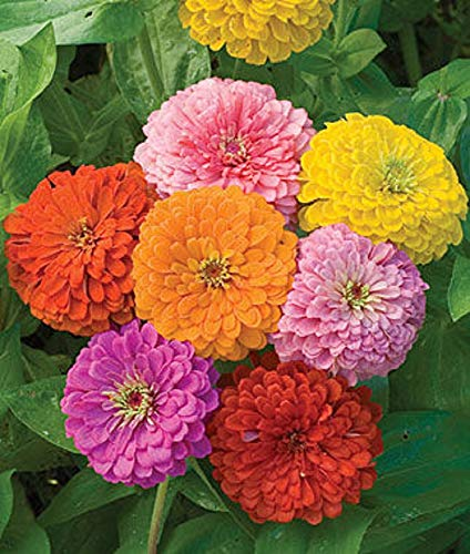 Zinnia - California Giant Mix - Bulk Pack 5,000 Seeds by Seeds2Go ()