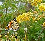 SS0144 Honeycomb Butterfly Bush Buddleia Weyeriana Live Herb Plant Garden Outdoor Yard