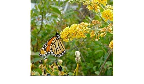 Honeycomb Butterfly Bush Buddleia Weyeriana Live Plant Garden Golden Glow Yard