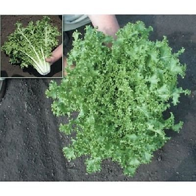 Endive Seeds ,Salad King (1000 Seeds) Hardy - Grow year round ()