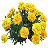 Vastravel French Marigold Golden Yellow Double Flower (Tagetes patula )100 Seeds