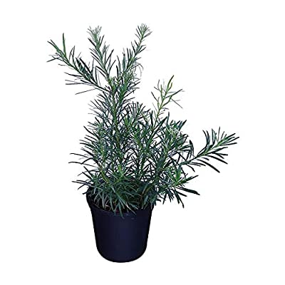PlantVine Podocarpus macrophyllus 'Maki', Japanese Yew - Large - 8-10 Inch Pot (3 Gallon), Live Plant : Garden & Outdoor