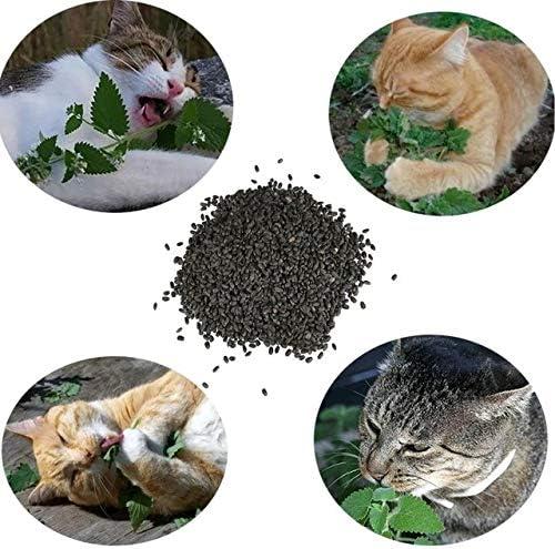 Semillas de Catnip Nepeta Cataria 120 Semillas de Hierba Gatera, Menta Gatuna o Albahaca de Gatos: Amazon.es: Jardín