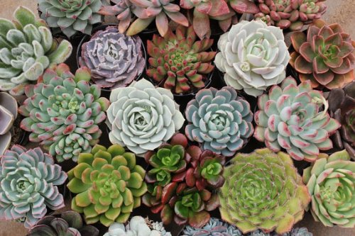 200 Assorted Succulents in 2.5'' Round Containers Ideal for Weddings & Gifts Gifts