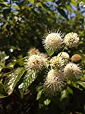 Live Button Bush Pond Plant Tree Bush Marginal One Small Rooted