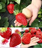 300pcs Giant Strawberry Seeds, Sweet Red Strawberry/Organic Garden Strawberry Fruit Seeds, for Home Garden Planting