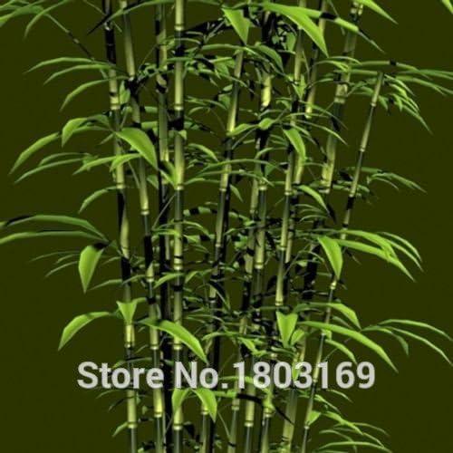 envío libre 200pcs de semillas de bambú gigantes frescas para el jardín de DIY semillas de árboles Hogar: Amazon.es: Jardín