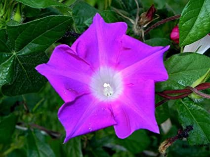 Amazon com : Kikyo Fuchsia Ipomoea Nil Morning Glory 6 Seeds