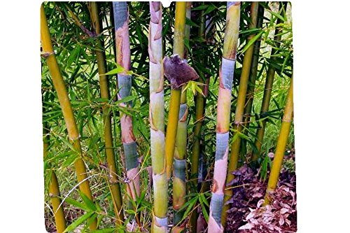 Bambusa Oldhamii Giant Timber Bamboo - Large 1 Gallon Plant - Non-Invasive Clumping Variety g