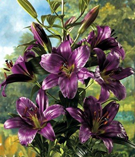 O.T. Hybrid Purple Prince Lily 2 Bulbs- 14/16 cm - NEW! - Rare Color