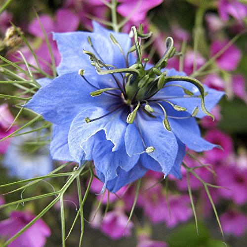 Love in a Mist Seeds - Blue - Packet, Blue Flowers Love Blooms Seed Packets