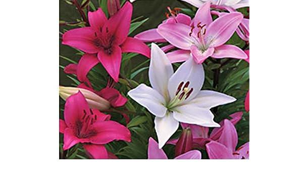Peony Bulbs Roots Spectacular Flower Bonsai Graceful Bouquet  Living Room Decor