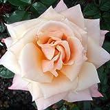 ROSE BETTY'S SMILE-Superb Birthday, Personalised Plant & Flower Gifts Mum,Mom,Women,Grandma,Granny,Gran,Her