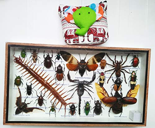 Real Rare Set Mix Insect Insects Box Display Taxidermy Framed Centipede Jewel Beetle Spider Cicada Xylotrures Collectible Entomology Home Decor Gift Handmade Bug Bugs 3D Glass Wood Wooden ()