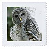 3dRose qs_74056_1 CN02 PCL0187 Juvenile Barred Owl, Stanley Park, British Columbia Paul Colangelo Quilt Square, 10 by 10-Inch