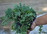 Blue Rug Juniper - 30 Live Plants - 4'' Container Low Maintenance Evergreen Ground Cover