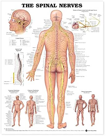The spinal nerves anatomical chart spinal nerves poster amazon com