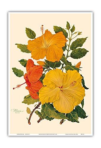 Hawaiian Hibiscus - Honolulu, Hawaii - Vintage Botanical Illustration by Dorothy Falcon Platt c.1950 - Hawaiian Master Art Print - 13 x 19in