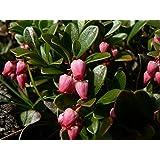20 BEARBERRY Arctostaphylos Uva-Ursi Kinnikinnick Pinemat Manzanita Flower Seeds
