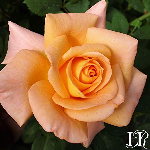 Own-Root One Gallon Seventh Heaven Hybrid Tea Rose by Heirloom ()