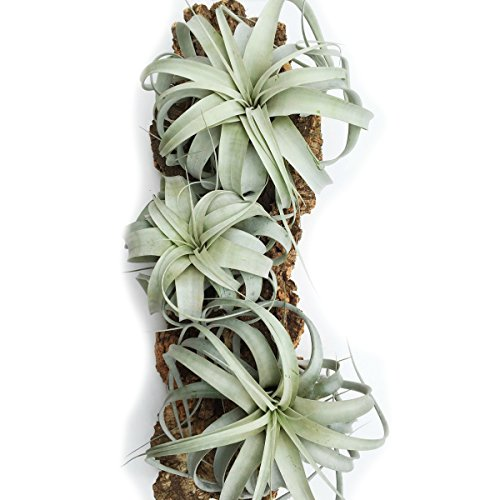 3 Pack of Large Xerographica Air Plants - 5 to 7 Inches Wide - Free Air Plant Care Ebook By Jody James