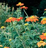 David's Garden Seeds Flower Tithonia Torch DE1178 (Orange) 50 Non-GMO, Open Pollinated Seeds
