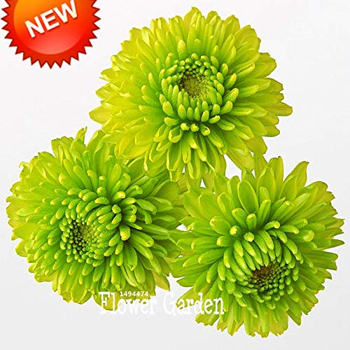 (time-Limit!!Balcony Potted Rare Green Chrysanthemum Flower Garden Beautiful Potted Plant Seeds 100 pcs/Pack, blilrs)