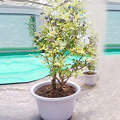 Angel3292 30Pcs Blueberry Tree Seeds Fruit Potted Bonsai Plant Garden Yard Balcony Decor - Blueberry Seeds : Garden & Outdoor
