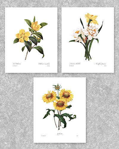 (Set of 3) Botanical Art (Yellow Flower Prints, Redoute French Home Wall Decor) Daffodil, Sunflower - 8x10 Unframed (Sunflower Print)