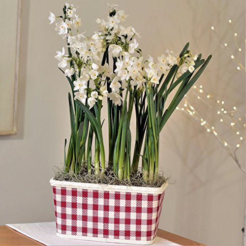 Paperwhites in Happy Check Basket - 17+ cm Bulbs Potted Paperwhites Gift - Bulb Basket