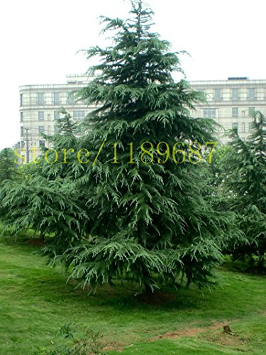 Brand New! 100pcs Cedar tree seeds Evergreen Forest Seed Woody Perennial, Cedar Potted Plants Bonsai Pine Tree Seeds for Home & Garden